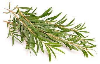 Ingredients - Tea Tree